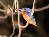 kingfisher_fb